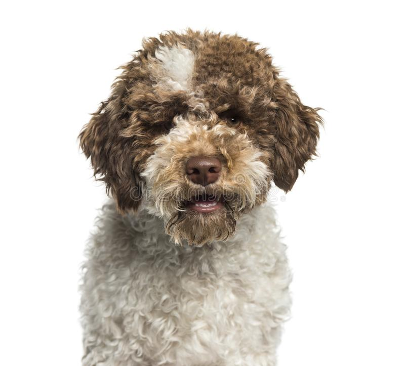 Lagotto Romagnolo, 7 months, in front of white background royalty free stock photography