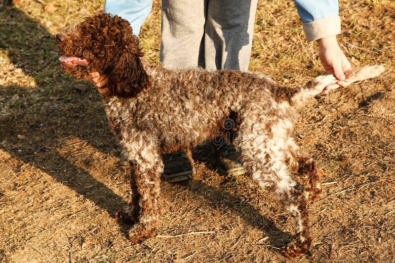 Lagotto romagnolo pies zdjęcie royalty free