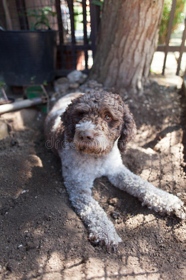 Lagotto Romagnolo stock images