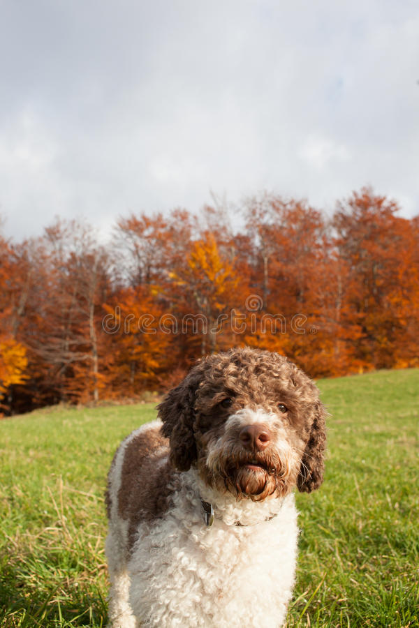Lagotto Romagnolo royalty free stock photography