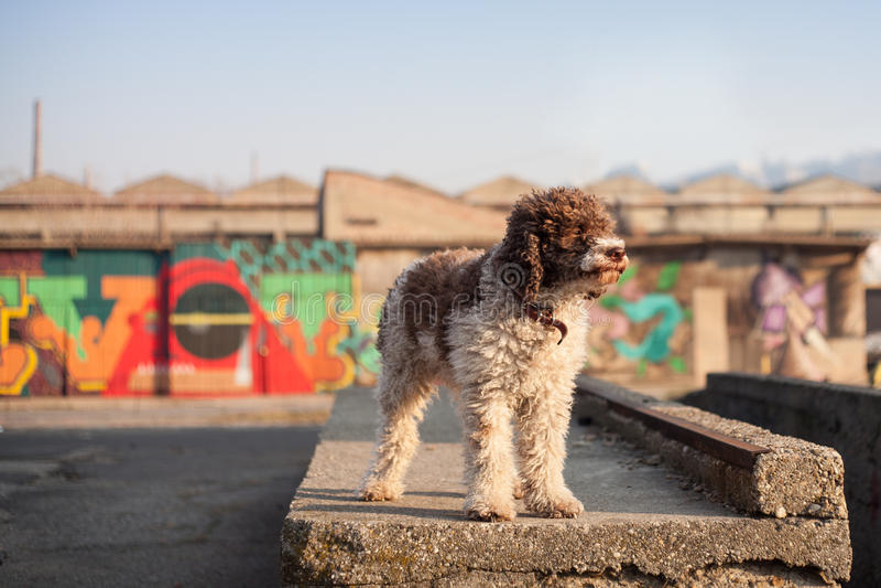 Lagotto romagnolo psi pozować w miastowym środowisku zdjęcia royalty free