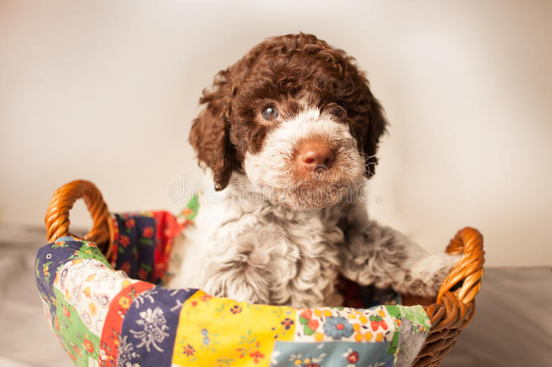 Lagotto romagnolo puppy in the basket stock image
