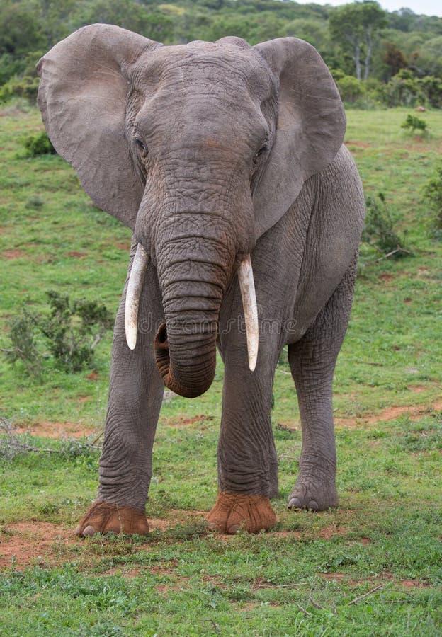 Lagr afrikansk elefant med långa vita beten royaltyfria foton
