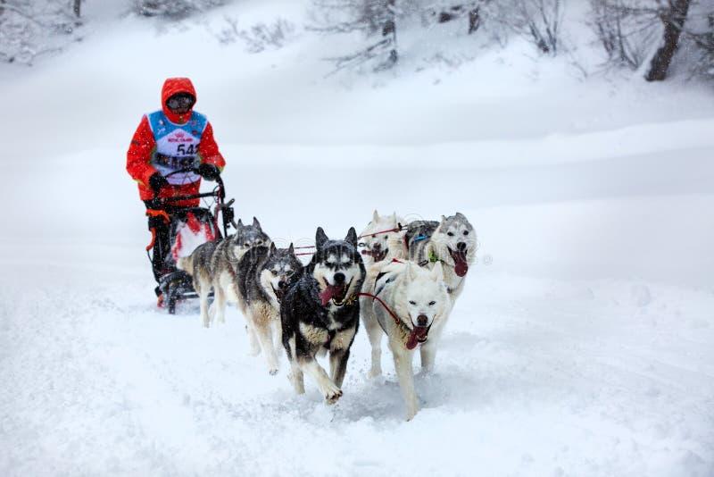 Lagslädehundkapplöpning som kör längs en snöig väg under tung snö royaltyfri fotografi