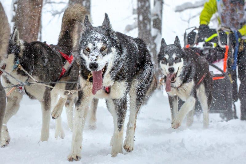 Lagslädehundkapplöpning som kör längs en snöig väg under tung snö royaltyfria foton