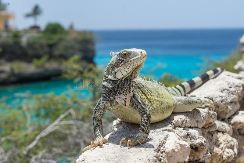 Lagun和鬣鳞蜥-库拉索岛景色 免版税库存图片