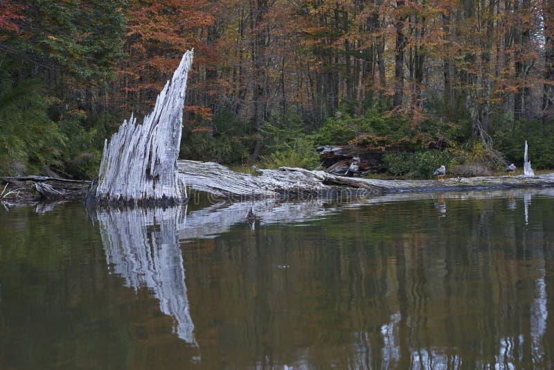 Laguna Captren nel parco nazionale di Conguillio, Cile fotografia stock libera da diritti