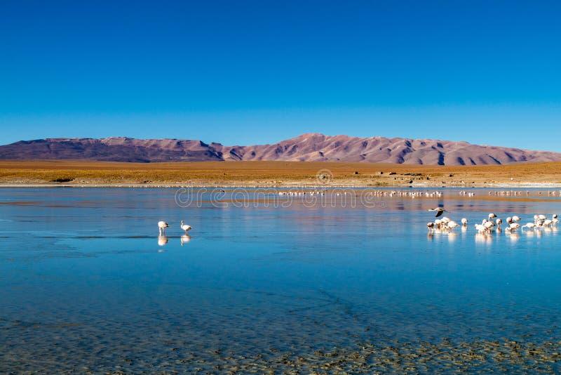 Flamingos in Laguna Collpa lake. Laguna Collpa lake in Reserva Nacional de Fauna Andina Eduardo Avaroa protected area is full of flamingos, Bolivia stock photography