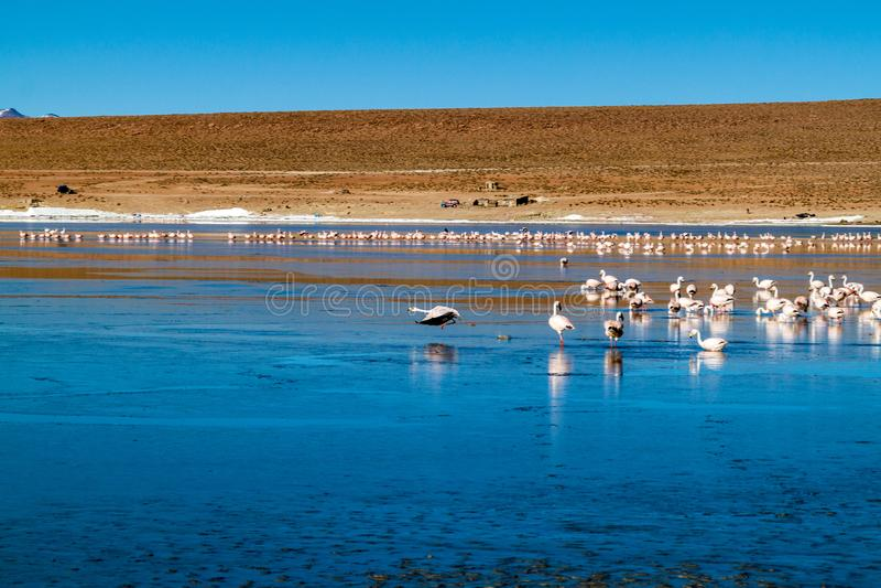 Flamingos in Laguna Collpa lake. Laguna Collpa lake in Reserva Nacional de Fauna Andina Eduardo Avaroa protected area is full of flamingos, Bolivia royalty free stock photo