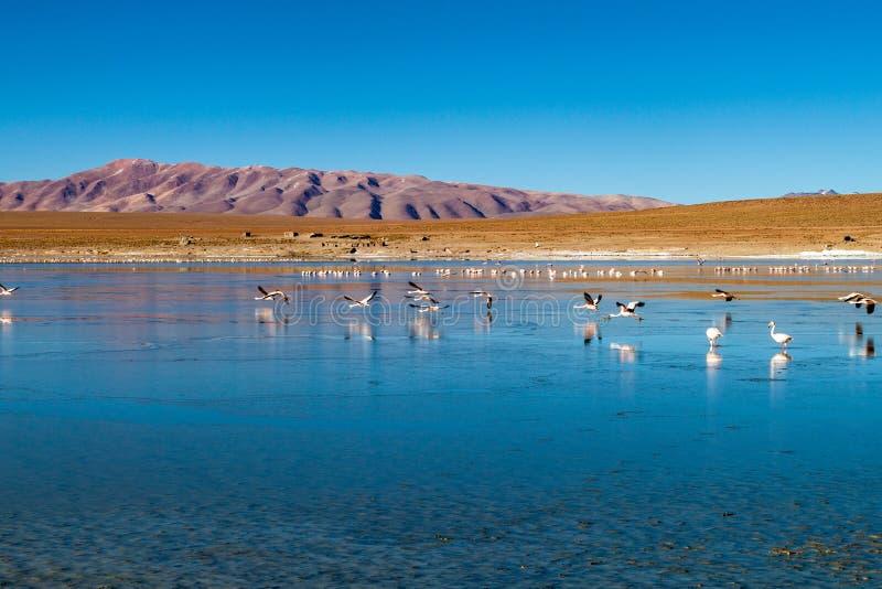 Flamingos in Laguna Collpa lake. Laguna Collpa lake in Reserva Nacional de Fauna Andina Eduardo Avaroa protected area is full of flamingos, Bolivia royalty free stock photos
