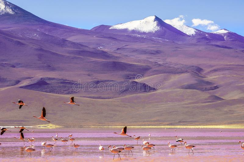 Laguna Colorada met flaminfos in de Andes van Bolivië stock fotografie