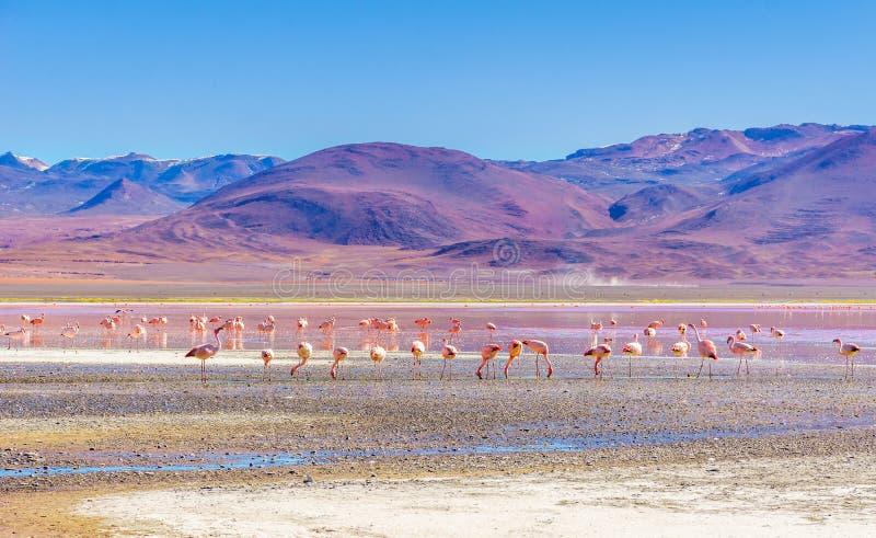 Laguna Colorada met flaminfos in de Andes van Bolivië royalty-vrije stock foto