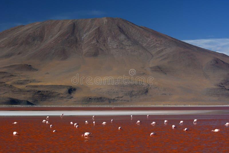 Laguna Colorada Reserva de Eduardo Avaroa Andean Fauna National bolívia imagem de stock