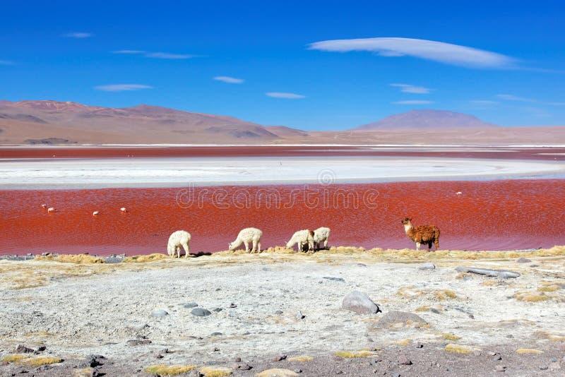 Laguna Colorado, Bolivia fotografía de archivo