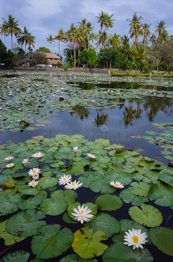 Laguna del loto in Bali fotografia stock
