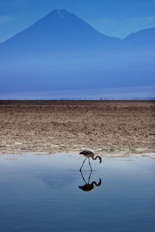 Laguna di Chaxa - appartamenti del sale di Atacama - il Cile immagini stock