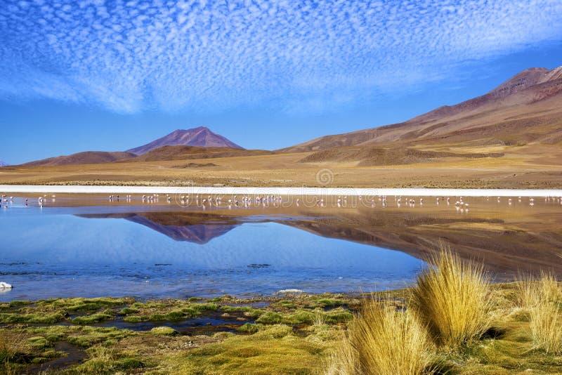 Laguna flamingo Bolivia arkivfoto