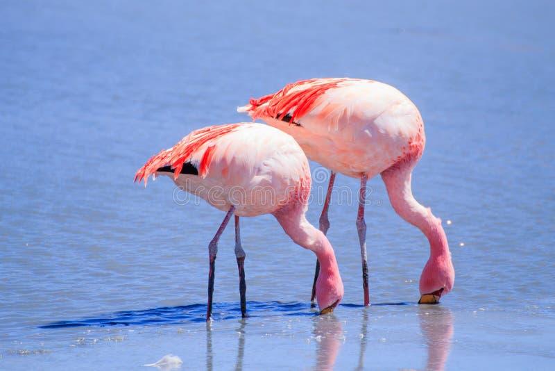 Laguna Hedionda flamingi, Boliwia obraz stock