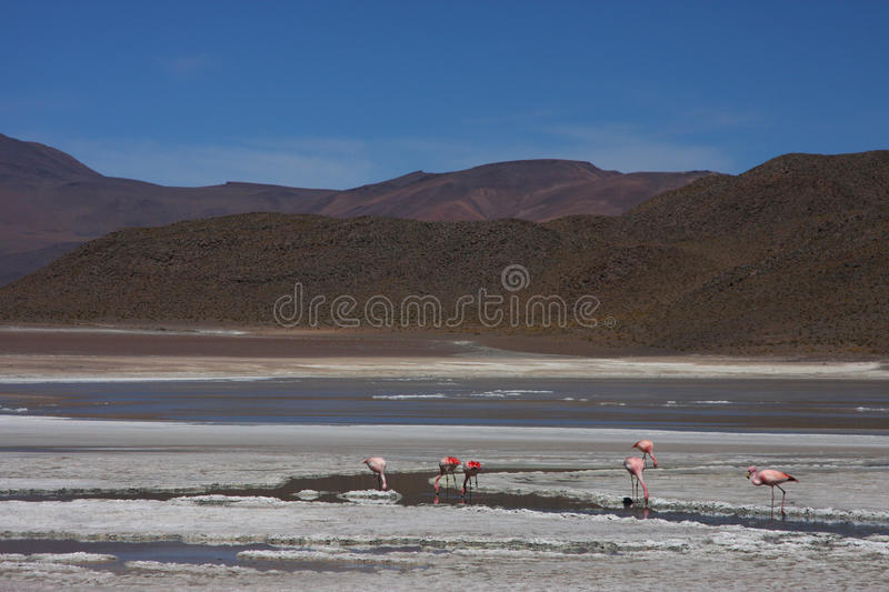 Download Laguna Hedionda And Flamingos Royalty Free Stock Images - Image: 10901489
