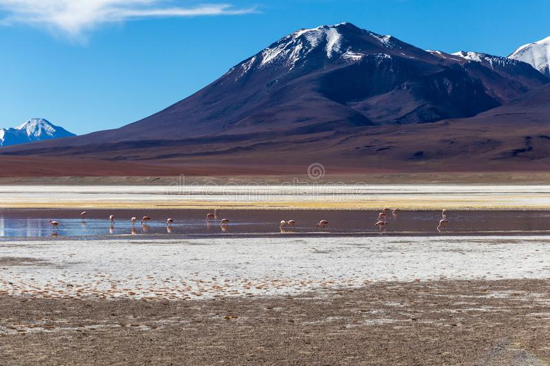 Flamingos in Laguna Hedionda, lagoon located in the Bolivian Altiplano near the Uyuni Salt Flat in Bolivia royalty free stock photos