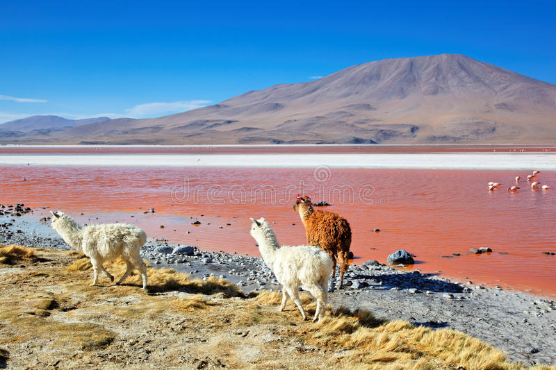 Laguna le Colorado, Bolivie image stock