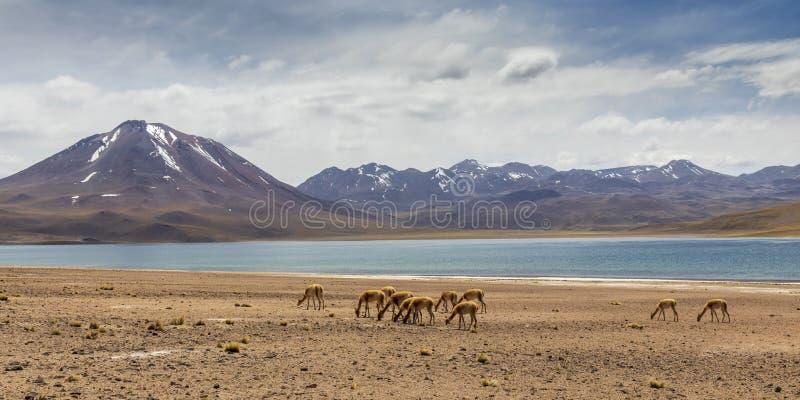 Laguna Miscanti near Atacama desert. royalty free stock photos