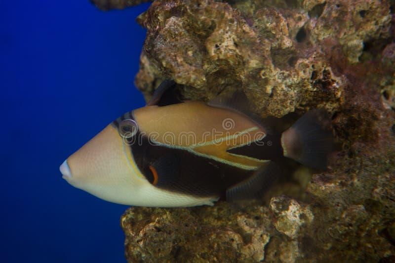 Laguny triggerfish Rhinecanthus aculeatus, także znać jako Picasso triggerfish obrazy stock