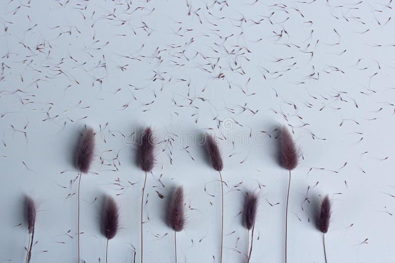 Lagurus de lavande de fleur, pourpre, et rose sec avec des graines sur le dessus de table blanc Papier peint de vue supérieure su photo libre de droits