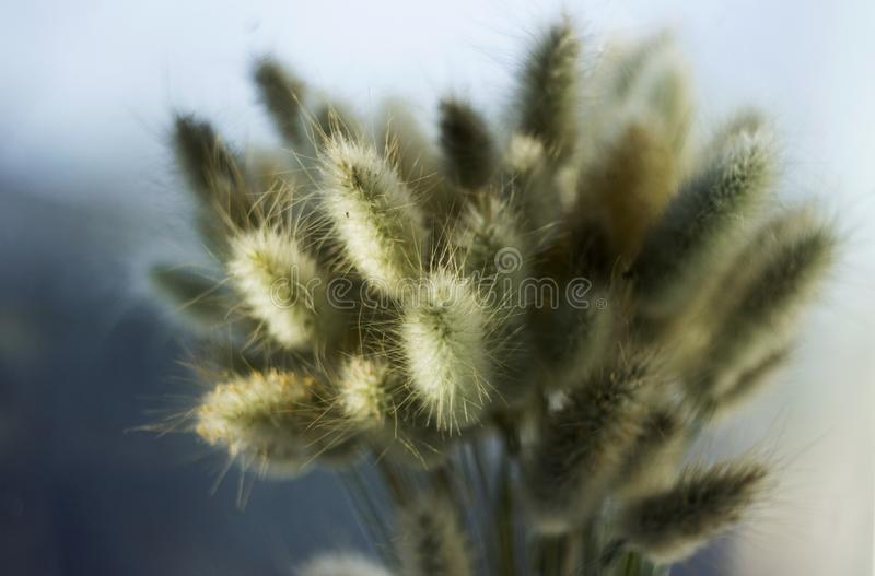 Lagurus torkade blommor Lagurus, slut för bukett för kaninsvansgräs upp royaltyfri bild
