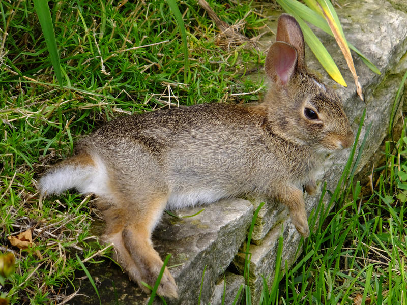 Laid Back. Baby bunny taking it easy on a nice cool stone slab stock photos