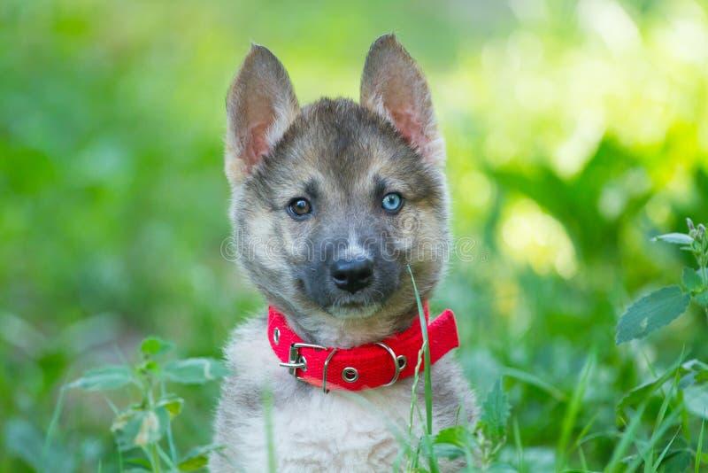 Laika在绿草的小狗画象 图库摄影