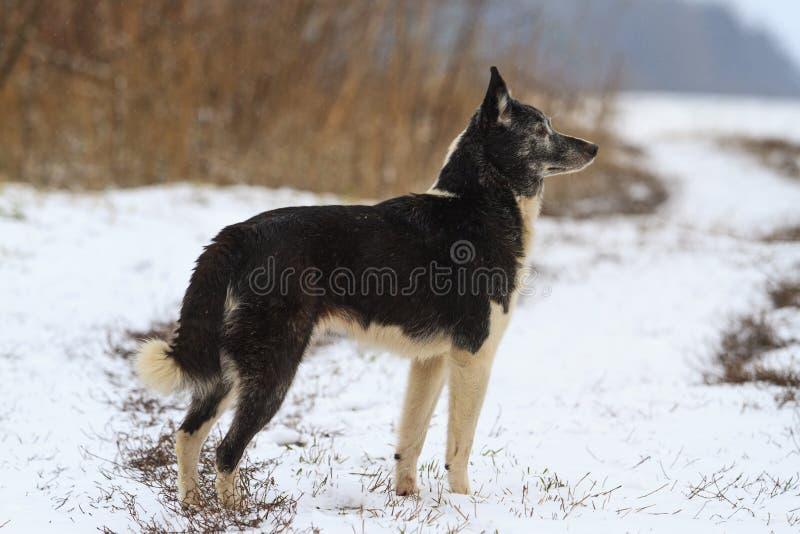 Laika, порода собаки, охотясь стоять в фронте обнюхивая дикого кабана стоковое фото