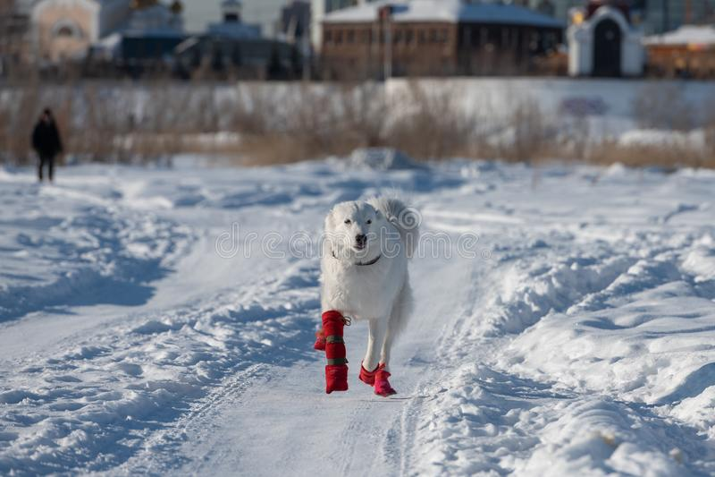 Laika di Yakutian in pantofole rosse che camminano in un prato fotografia stock libera da diritti