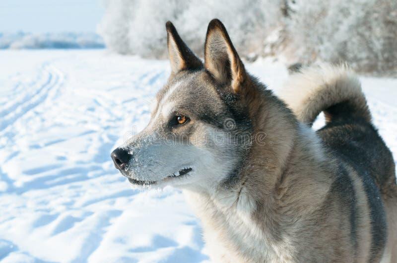 Laika o cão. imagens de stock