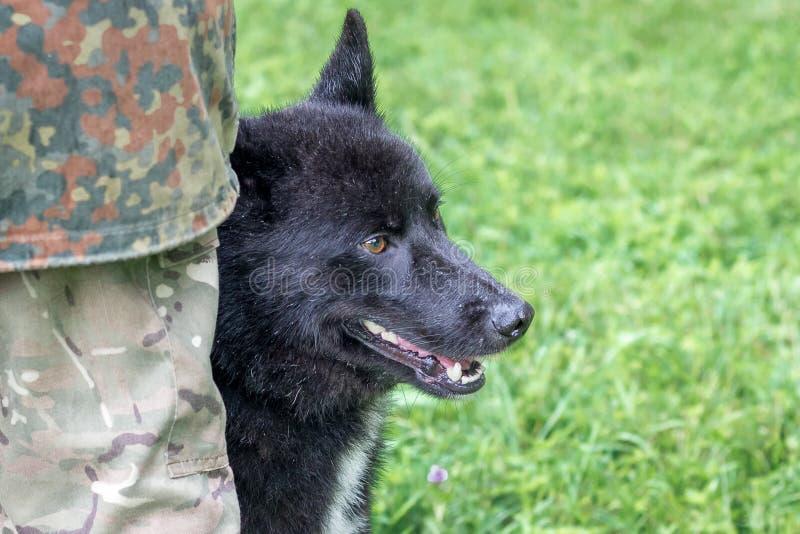 laika Russo-europeo con il suo padrone all'esposizione canina in pioggia immagini stock