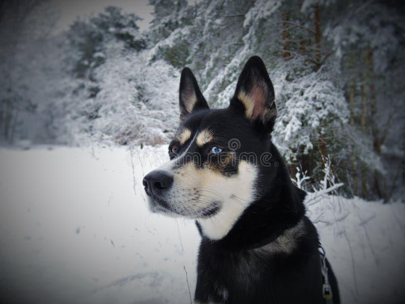 Черная белизна и собака Laika сибиряка Tan Eas в снеге стоковые изображения rf