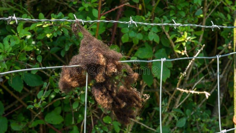 Laine de moutons de Brown accrochant sur une barrière photographie stock