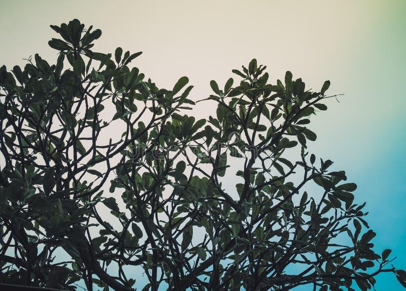 Laisse des branches de pin contre le ciel bleu photos stock