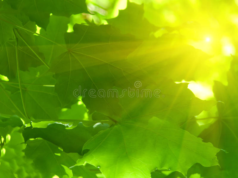 Laisse l'érable d'arbre image stock