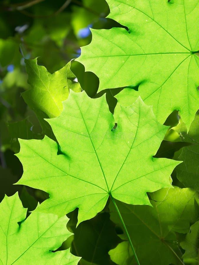 Laisse l'érable d'arbre photographie stock