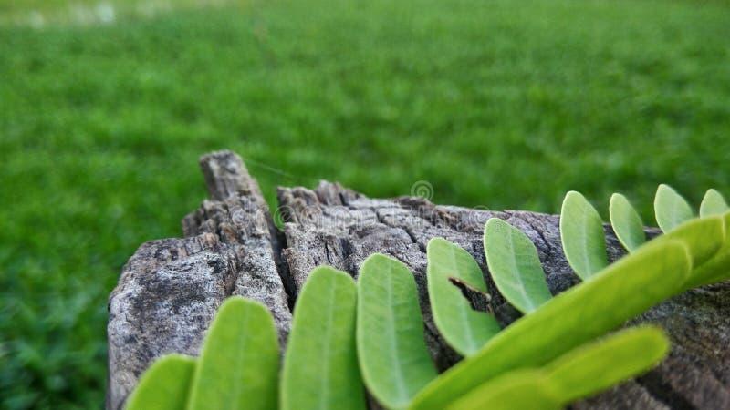 laisse le tamarinier avec du bois photographie stock libre de droits
