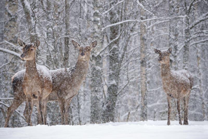 Laissez lui neiger : Trois ont saupoudré avec les supports femelles d'Elaphus de Cervus de cerfs communs rouges de neige au fond  images libres de droits