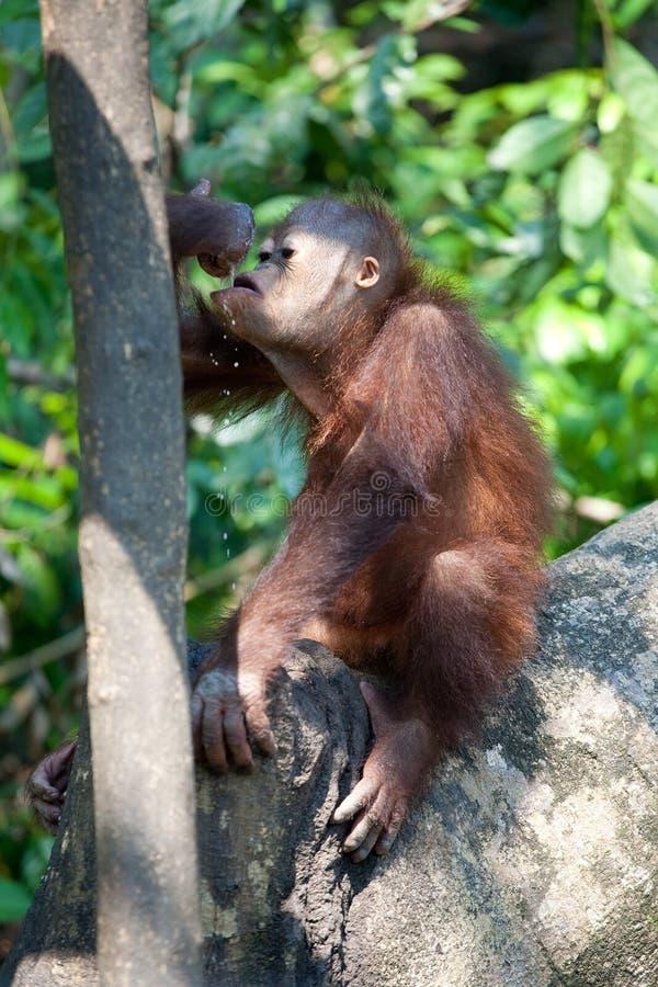 Lait de consommation d'orang-outan photos libres de droits