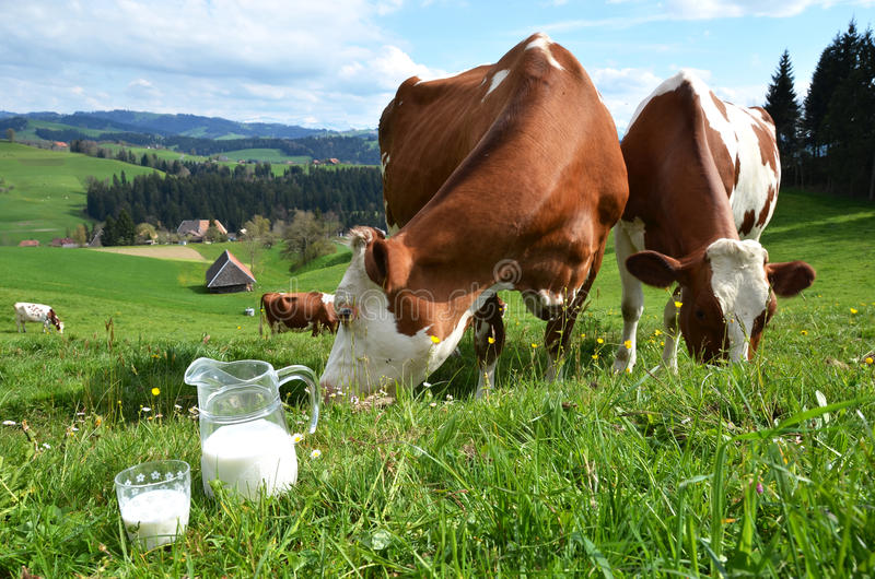 Lait et vaches images libres de droits