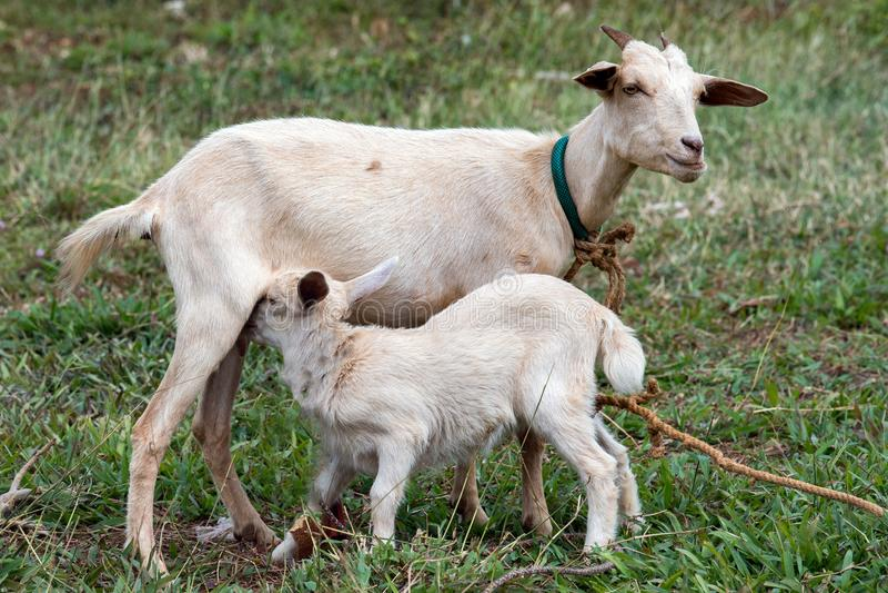 Lait nouveau-né de nourrisson de chèvre de bébé de mère images stock