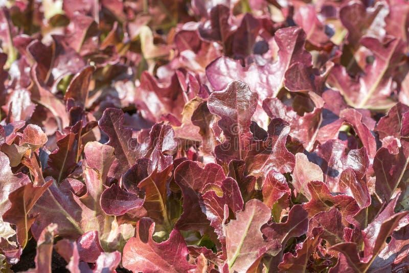 Laitue à l'usine végétale hydroponique image stock