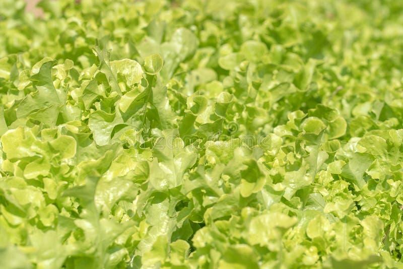 Laitue à l'usine végétale hydroponique photos stock