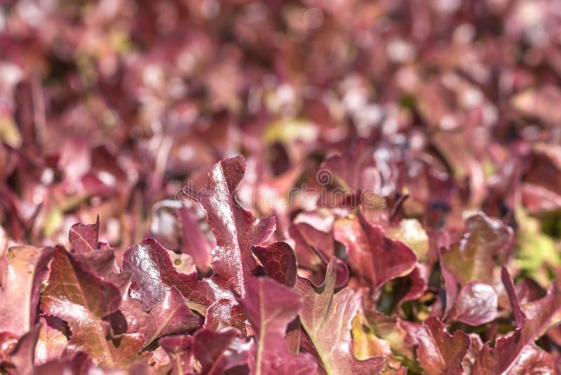 Laitue à l'usine végétale hydroponique photos libres de droits