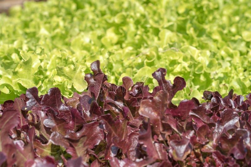 Laitue à l'usine végétale hydroponique images stock