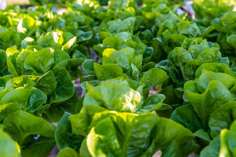Laitue hydroponique de légumes de salade dans la plantation de ferme de système de culture hydroponique photo libre de droits